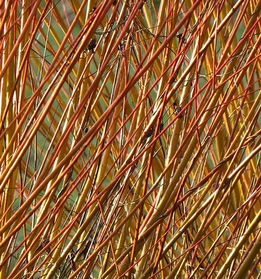 Travelling Weaver Willow Pixabay.jpg