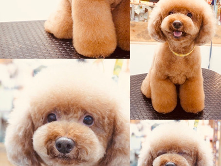 カットモデル犬募集のお知らせ
