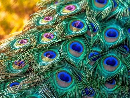 Connaissez-vous la symbolique du paon ?