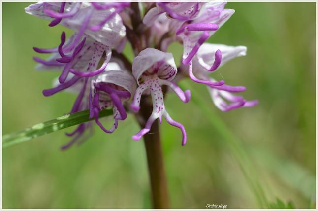 Orchis singe.jpg