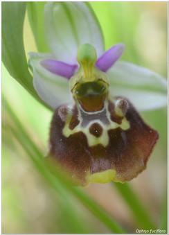 Ophrys fuciflora.jpg