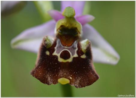 Ophrys fuciflora_4.jpg