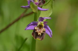 ophrys bourdn.jpg