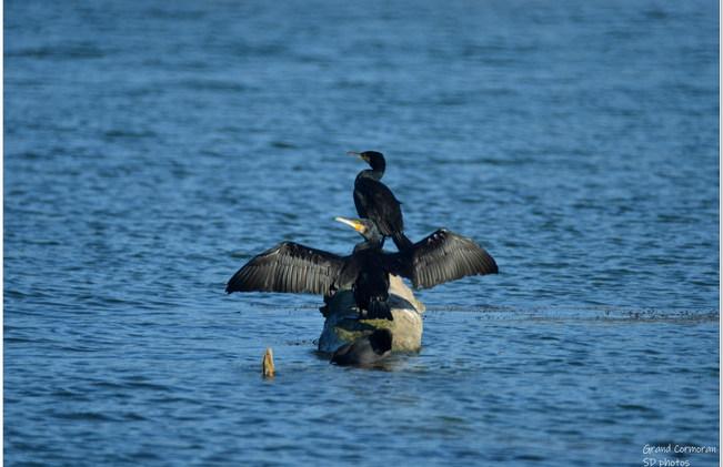 grand cormoran (4).jpg