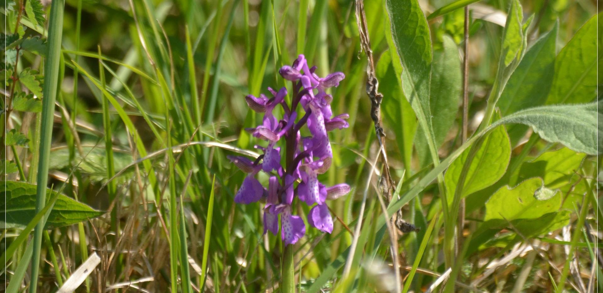 orchis bouffon (16).jpg