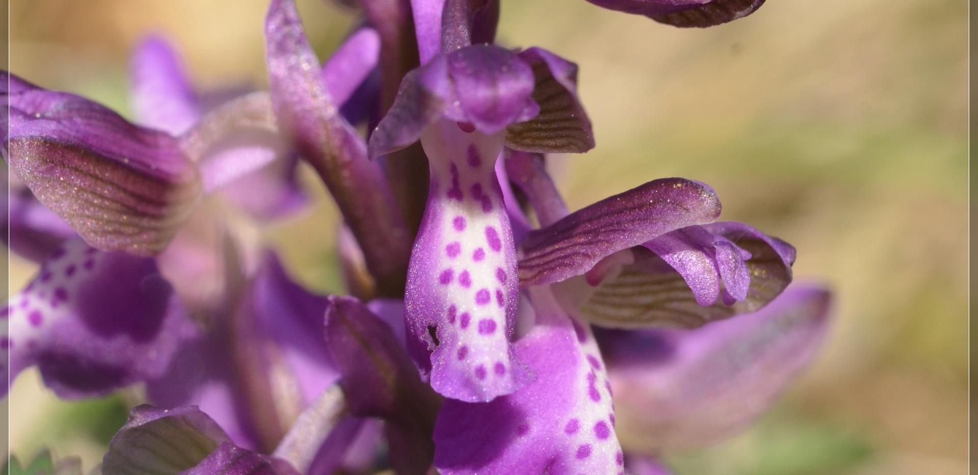 orchis bouffon (19).jpg