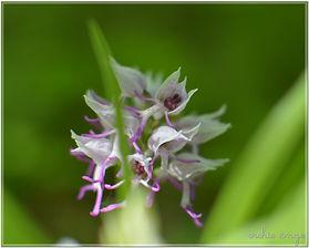 Orchis singe2.jpg