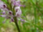 orchis singe (2).jpg