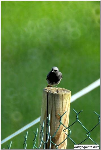 rouge queue mâle (10).jpg