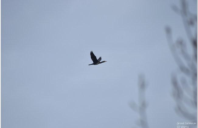 grand cormoran (7).JPG