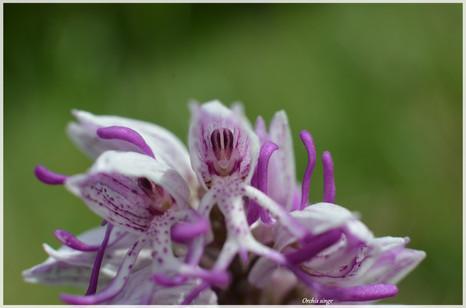 Orchis singe_2.jpg
