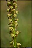orchis homme pendu (18).jpg
