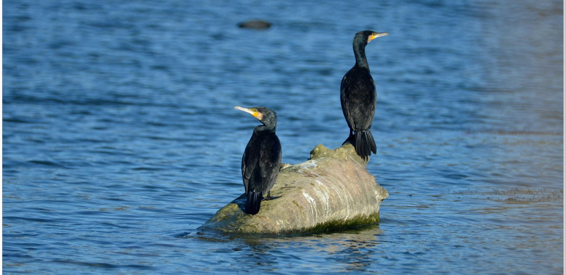 grand cormoran (5).jpg