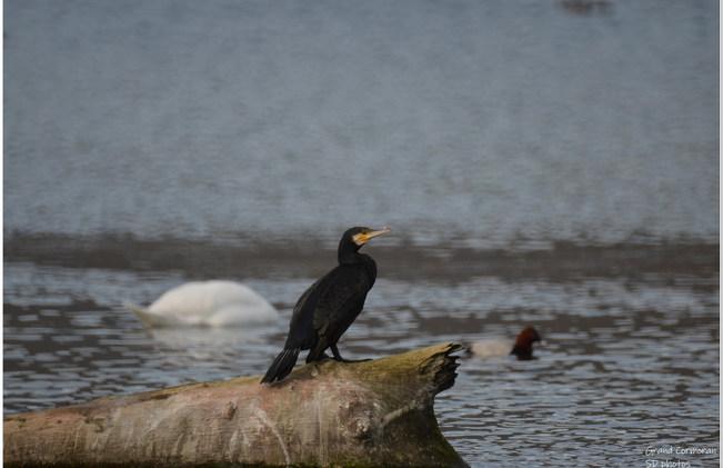 grand cormoran (2).jpg