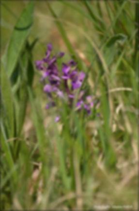 orchis bouffon (17).jpg