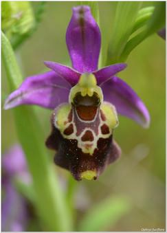 Ophrys fuciflora_5.jpg