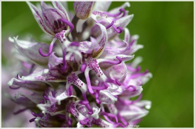Orchis singe_4.jpg