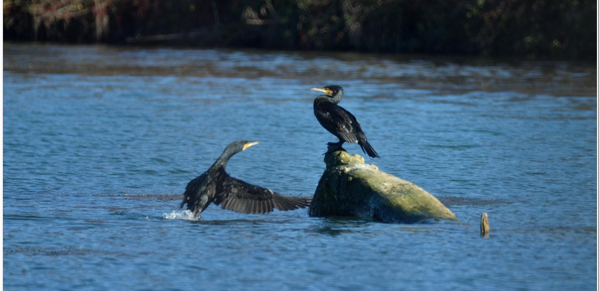 grand cormoran (3).jpg