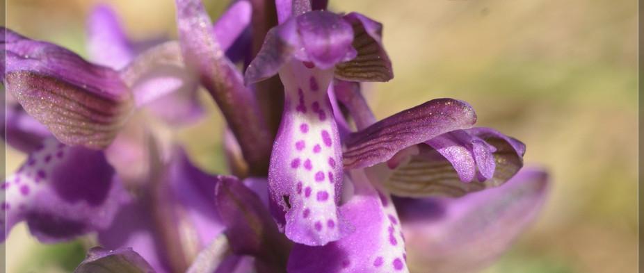 orchis bouffon (1).jpg