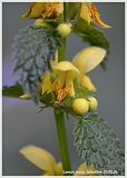 Lamier jaune (4)_095.JPG