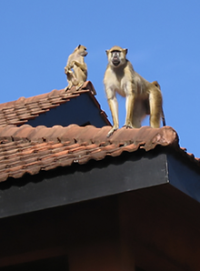 2monkies-on-roof.png