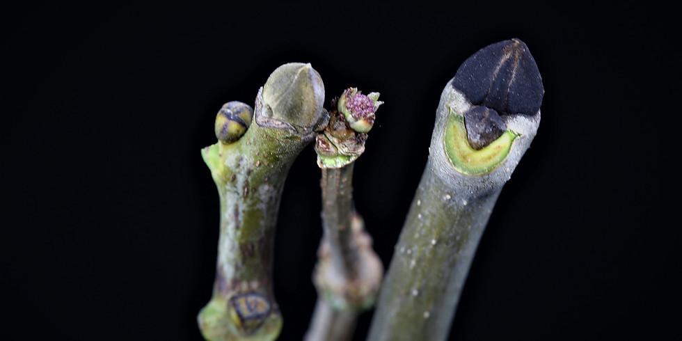 Reconnaître les arbres en hiver