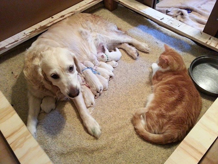 Sheldon the cat watching puppies