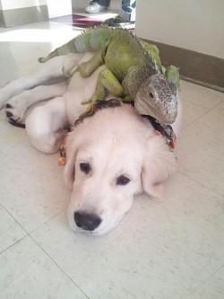 Hazel with Iguana