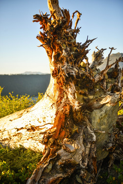 Roots of Mt Tallac