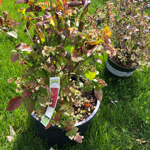 How to Plant Blueberries in Containers for Beginners