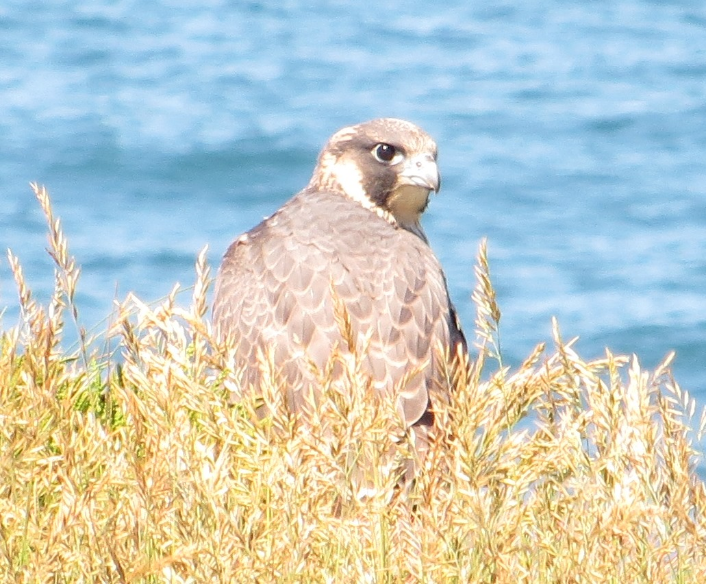 Peregrine_Falcon(Falco peregrinus)