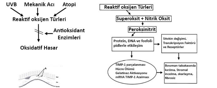 Şekil 3: Kenney ve Brown'un oksidatif stresi temel alan hipotezinin şematik gösterimi.[13]
