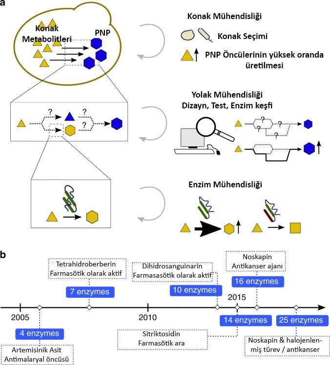 Şekil 1: a. Çoklu seviyelerde metabolik mühendislik, gittikçe karmaşıklaşan heterolog PNP yollarının mühendisliğini mümkün kılmıştır. Bir mikrobiyal konakçıda bir PNP'nin heterolog üretimi, üç farklı ölçekte mühendislik içerebilir: konakçı, yol ve enzim b. Zamanla gerçekleştirilen artan yol uzunluğunu gösteren, maya ile üretilen önemli PNP örneklerinin zaman çizelgesi. Etiketler, ürün adını veya bileşik yardımcı programını gösterir.[1]