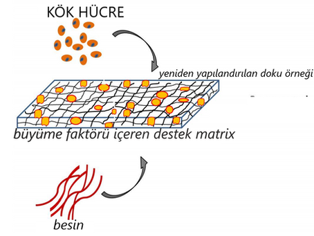 Kök Hücre ve Biyomalzemeler Kullanılarak Yapılan Doku Mühendisliği Uygulamaları
