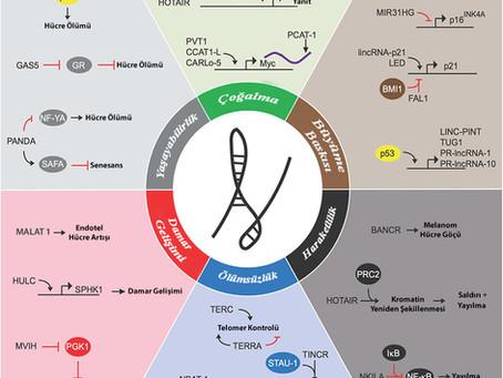 Uzun Kodlanmayan RNA'Lar (lncRNA) ve Kanser İlişkisi