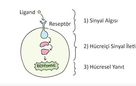 Hücre Sinyal İletimi