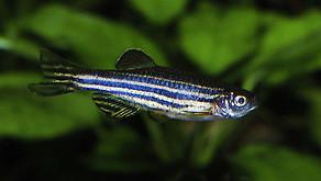 Nörodejeneratif Hastalıkların Tedavisinde Zebra Balığı Modeli