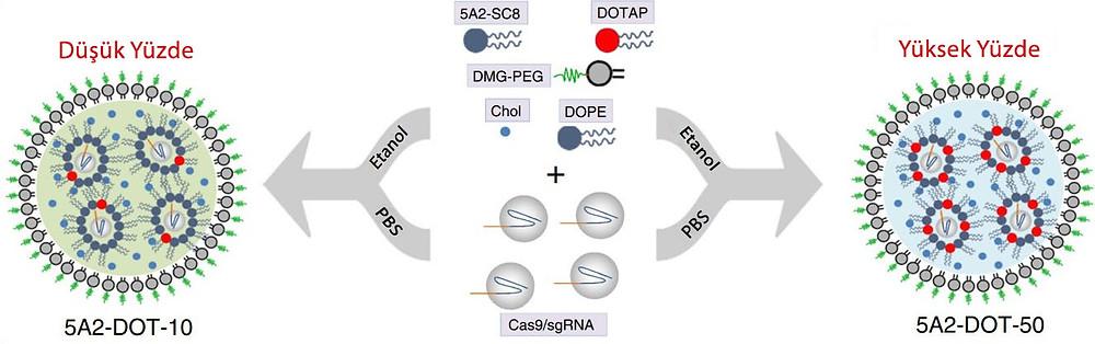 Şekil 1: Düşük ve yüksek miktardaki DOTAP farklı dokulara özgü olmasını sağlar örneğin buradaki 5A2-DOT-10 karaciğere özgü iken 5A2-DOT-50 akciğere özgüdür.[5]