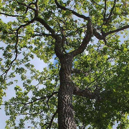 4 Chestnut Oak