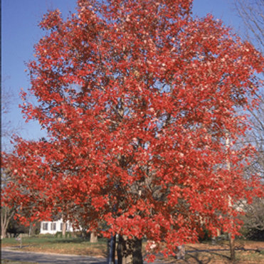 4 Red Maple
