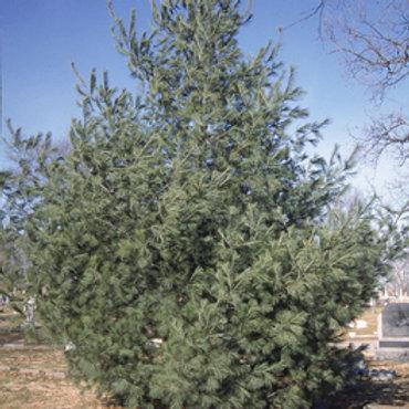 20 White Pine