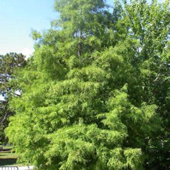 4 Bald Cypress