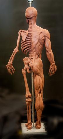 Écorché - Anatomy Study