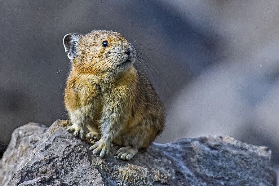 The Mighty Pika