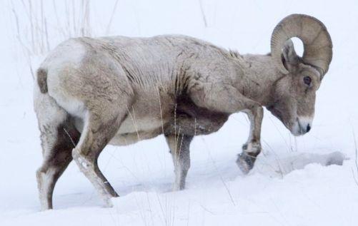 Bighorn winter habitat