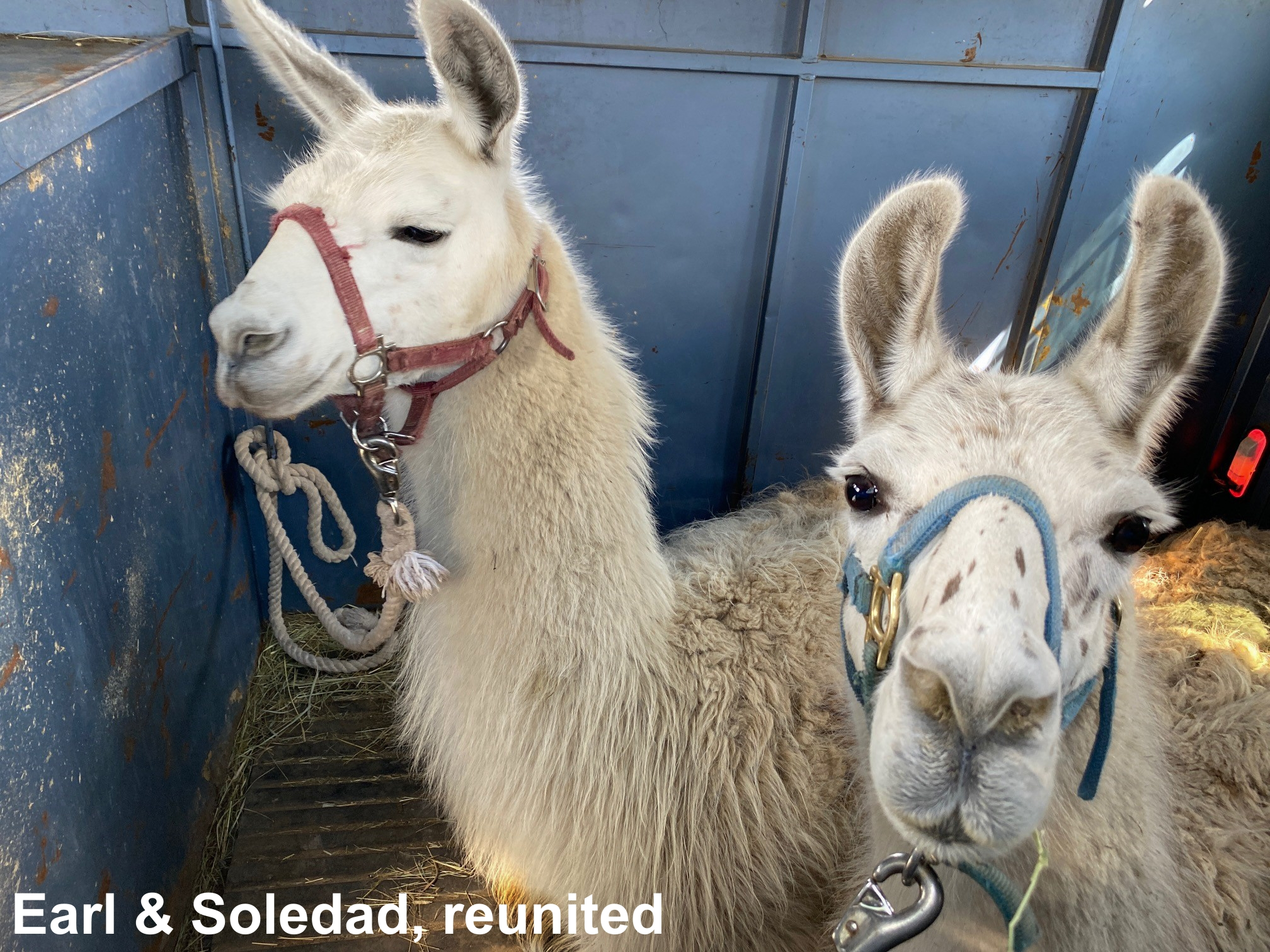 The Great Llama Rescue