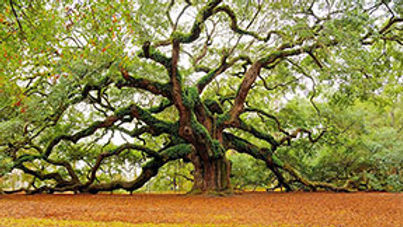 the oak of knowledge