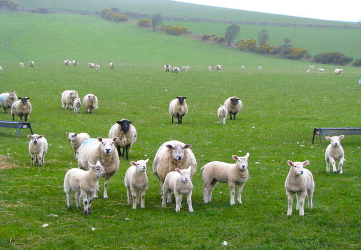 Sheep_near_Tara_(2)_-_geograph.org.uk_-_