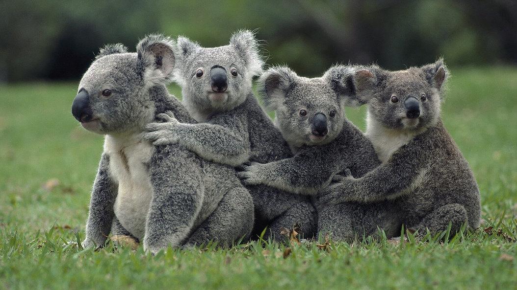 koala bears.jpg