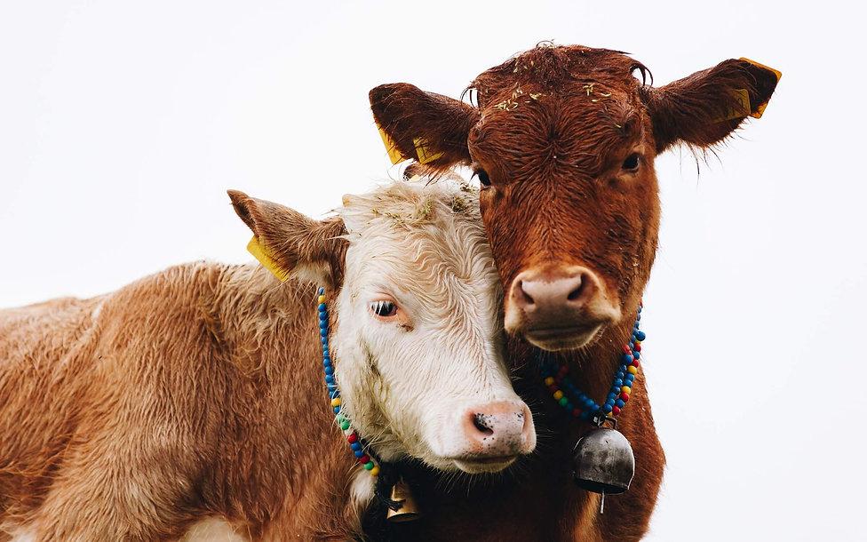 cows-doruk-yemenici-FRJamIO-TB0-unsplash